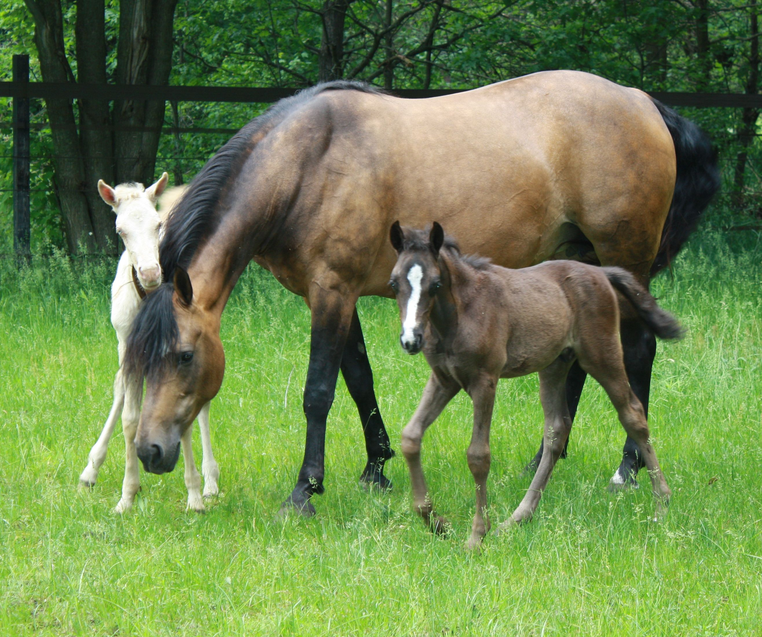 Horses giving birth to triplets